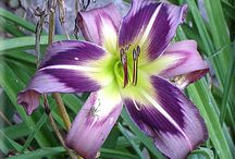 Day Lilies / by Allison Robbins