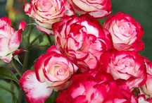 Double Delight Rose. / The Hybrid Tea Rose 'Double Delight' With Ideal Companion Plants.