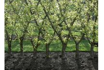 apple trees fence