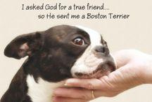 Amazing Boston Terrier