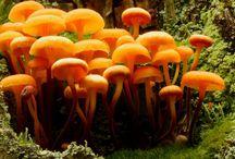 Fungi (Mushrooms)