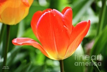 Tulip Photography by Diego Re