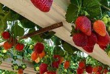 Farmville ♢ Çiftlik ♢ Bahçe / meyve ve sebz