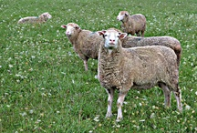 Sheep in the news
