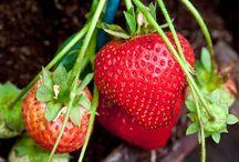 Growing Strawberries / Advice on growing strawberries