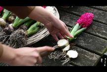 Bulbes à fleurs / Tulipe, Jacinthe, Renoncule, Amaryllis, Crocus, Narcisse, Iris, Lys, Glaïeul, Hémérocalle...