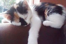 My favorite Calico cats ♡ / Such beauties ❤