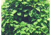 Kratom: Trees