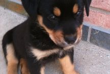 Rottweilers / by Sandra Walker