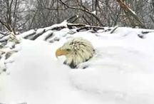 Hoe houd de roofvogel zijn  ei warm?
