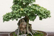 Bonsai (japonês: 盆栽, bon-sai) / Bonsai é uma árvore em miniatura, cultivada em um vaso ou em pequenos recipientes. É uma expressão artística da natureza, cujo grau de beleza depende do cuidado dispensado por seu cultivador.