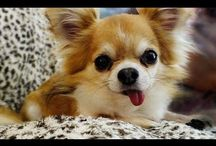 Cute And Funny Chihuahua Puppies Videos