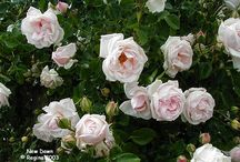 Gardening:  Antique and English Roses / by Kenda Morrison