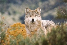 Wolves / For the Love of Wolves! / by Mirian Mendes
