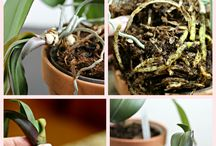 Orchids / Orchid growing and care