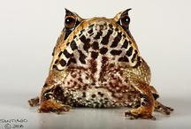 Creatures - Reptiles and Amphibians / Fabulous, cute and quirky reptiles and amphibians :)