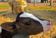 Cows / Lovely and cute