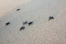Cabo Sea Turtle Protection Program / The turtle season is one of the most anticipated in Cabo, you should come from September to November to release some of them to the beach! | La temporada de liberación de tortugas marinas de Los Cabos es de septiembre a noviembre, así que no lo pienses más y ven a ser parte de esta única y loable actividad en la playa. / by Los Cabos Tourism