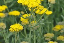 blomster gule