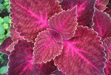 Coleus Plants / Bright Foliage Plants