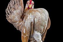 kanat