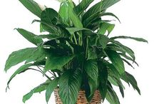Green & Blooming Plants / House plants are a great way to brighten up the indoors and improve air quality. They make a great gift for birthdays, get well or just because! Get ideas on our website: http://www.norfolkflorist.com/plants/