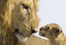 lion ❤❤❤