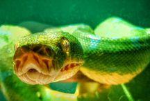 morelia viridis / my exotic pet
