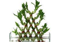 Buy plants online in bangalore / Send plants online in bangalore,Buy bonsai plants online in bangalore,Buy bonsai plants in bangalore,Bonsai plants for sale in bangalore,Bonsai plants online in bangalore,Order plants online in Bangalore