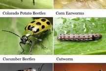 zararlı Böcekler