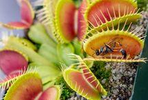 Venus Flytrap Gallery / Our rarest and favorite Venus Flytraps