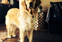 Goldens / Pets
