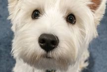 Westie Terriers / Doggies