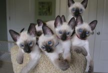Siamese Cats / Pictures of Siamese Cats