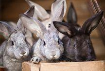 HOMESTEADING: Rabbits