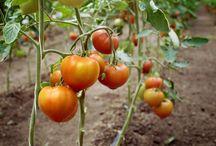 Legume si fructe Dor de Gust / Dor de Gust aduce legumele si fructele proaspete romanesti din gradinile fermierilor nostri, din bazine legumicole cu traditie din Romania, consumatorilor prin intermediu marilor retele de retail.