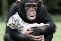 tigre blanc dans les bras d'un singe