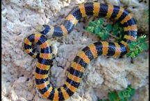 Arizona Snakes