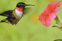 Hummingbirds and Feeders