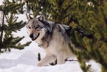 I Love Wolves.... / by Mary Tipping