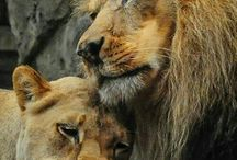 Love of a lion