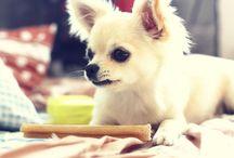 Chihuahuas dog