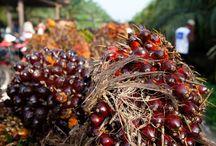 Dobrý olej / Plantáže palmy olejné v Indonésii se během posledních dvou desítek let rozpínají překotným tempem a za tu dobu již zcela zničily široké pásy přírodního pralesa a kriticky důležitých oblastí rašelinišť. Dosanská komunita se zavázala k ochraně svého pralesa a k přijetí vylepšených environmentálních managementových metod.
