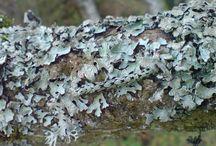 Lichen Camouflage