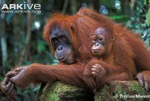 Primates  Asia / by Corinne Gonnin-Le Guillou