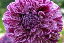 Dahlias - Striped purple
