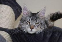 Meine Katzen - Benny / Das ist Benny  Unser jüngster MaineCoon Kater, geboren am 18.11.2013 Ein absoluter Schmuser
