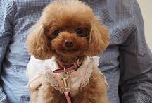 Pardo / Toy poodle Girl lady Queen