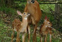 Wildlife photography / Wildlife Photography | Deer Photography | Fox Photography | Animal Photography | Owl Photography