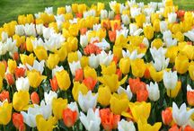 Tulpaner  | Tulips